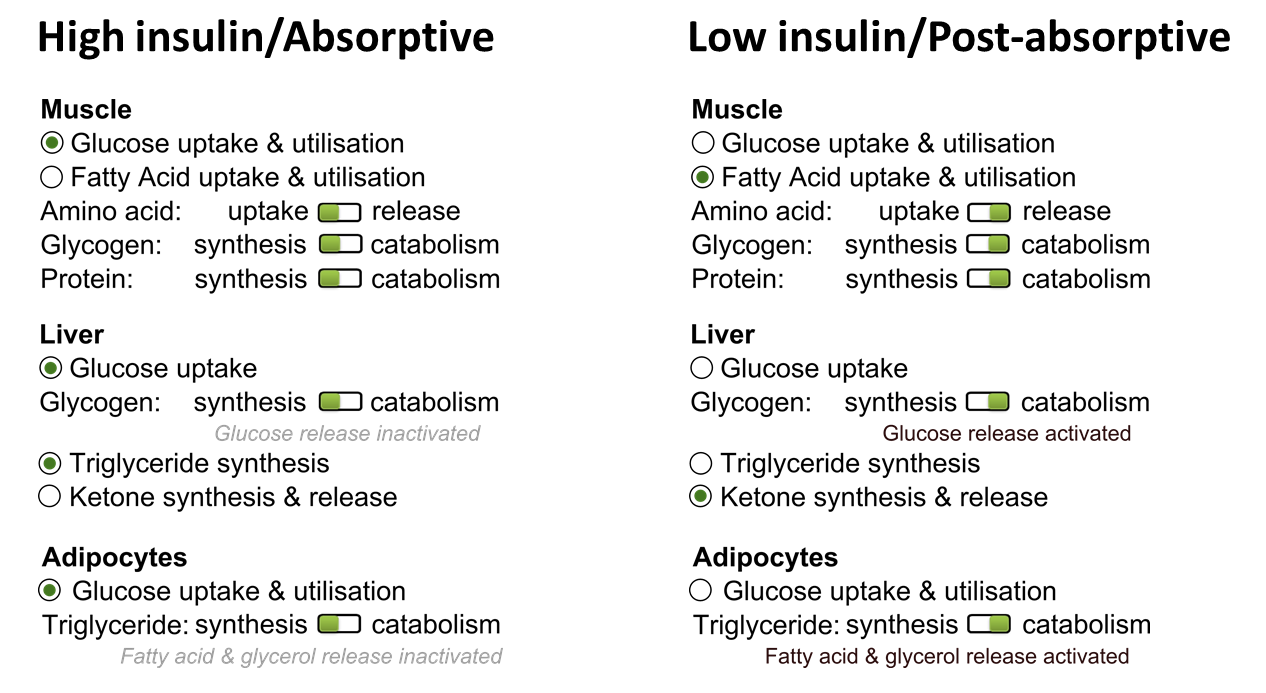 Distinguish between the absorptive and postabsorptive state of metabolism