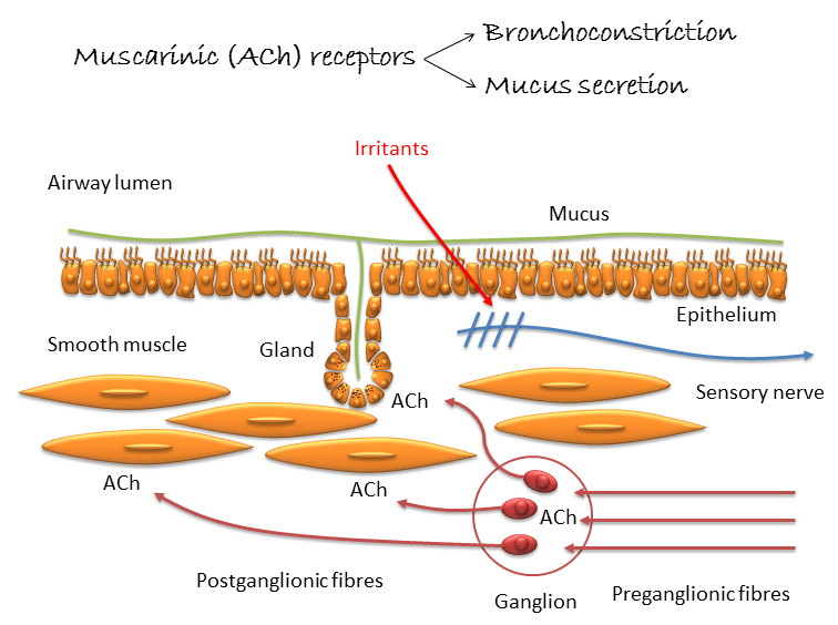 Muscarinic Receptors in Airways Diseases